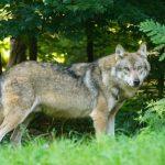 Kindercollege over de wolf in Nederland
